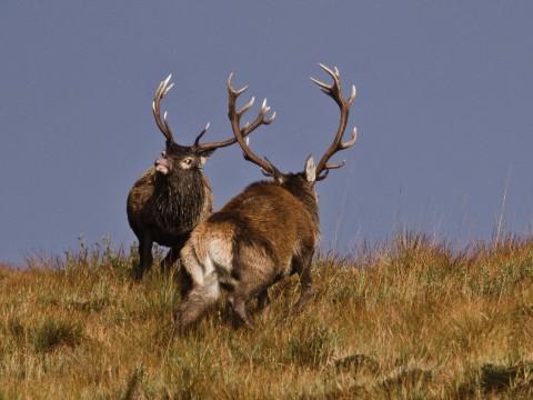 Red deer rut safari