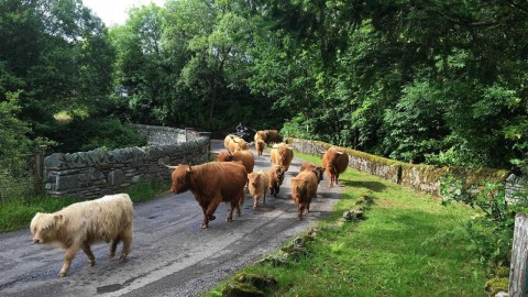 Highland Cattle Tour