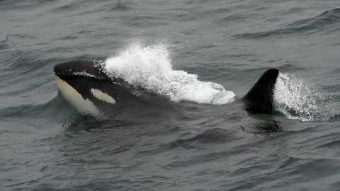 Orca Quest  — Caithness in May
