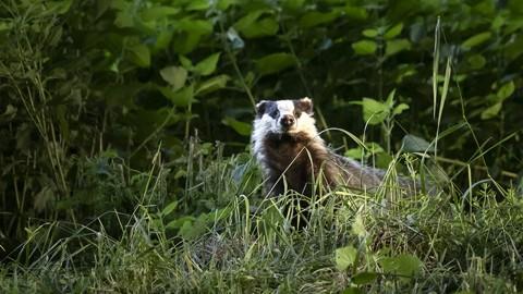 Summer Badger Photography